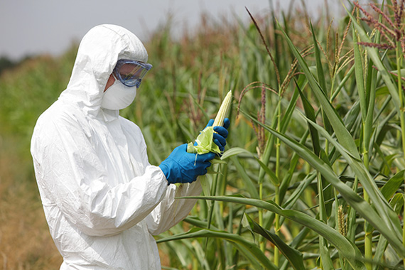 Man in coveralls and gloves examining corn crops in field